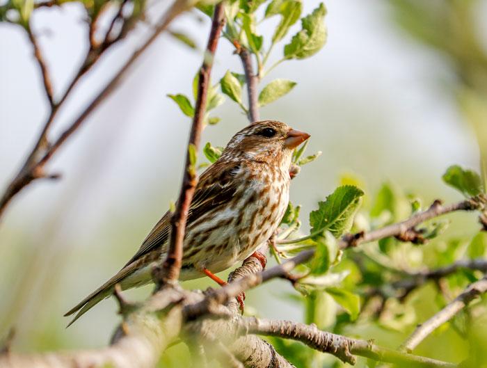 Female Purple Finch 5-25