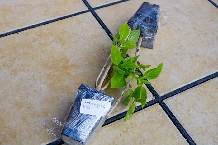 Hydrangea Blue 5-25