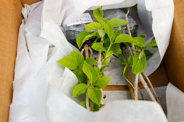 Box Of Hydrangea 5-25