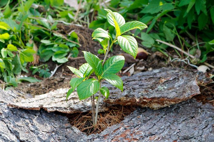 Hydrangea Pine Bark 5-25