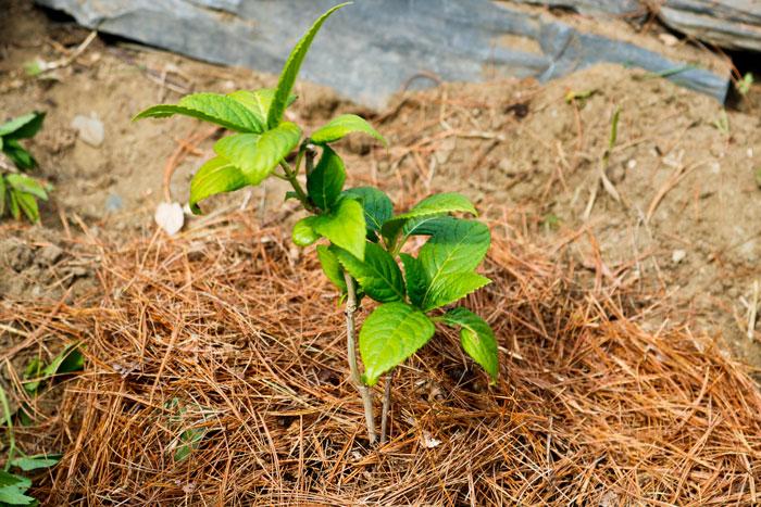 Hydrangea Pine Needles 5-25