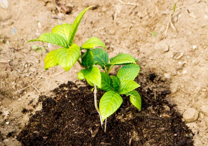 Hydrangea Soil 5-25