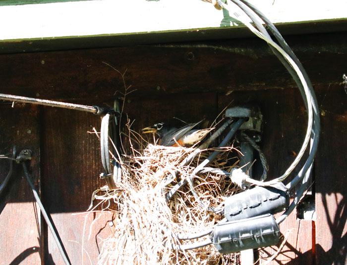 Nesting Robin On House 5-25