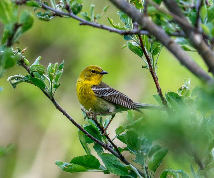 Pine Warbler 5-25