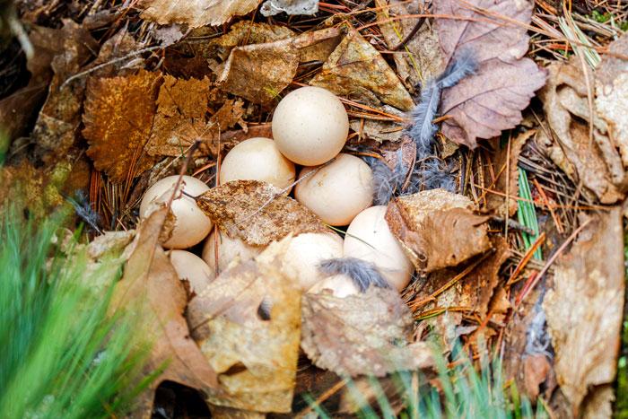Ruffed Grouse Eggs 5-25