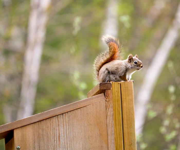 Squirrel Box 5-25