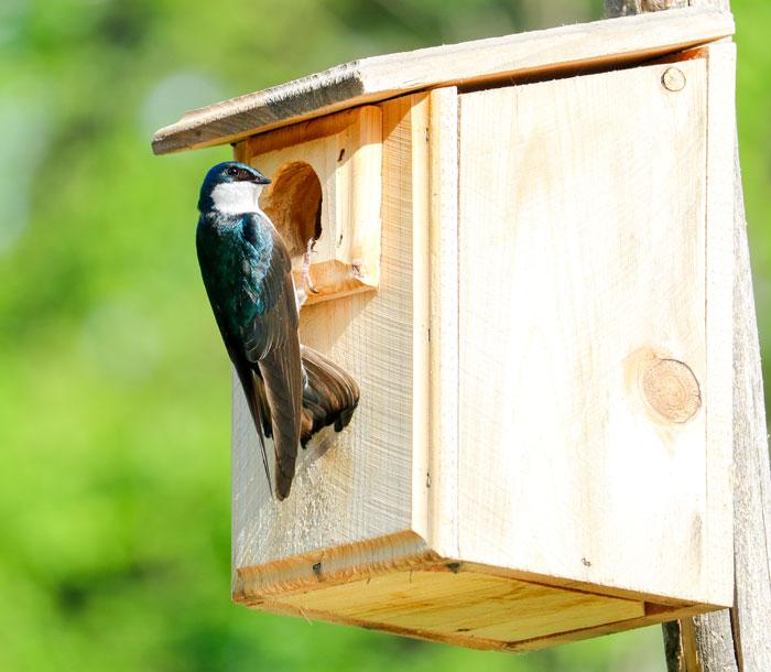 Tree Swallow Box 5-25