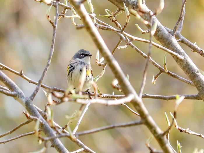 Yellow Rumped Warbler 5-25