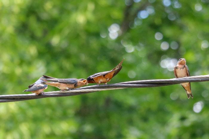 Barn Swallows Being Fed 6-29