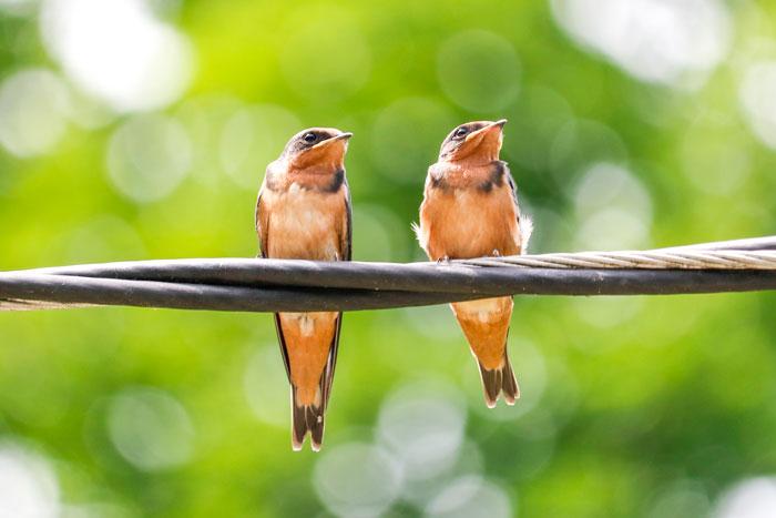 Barn Swallow Siblings 6-29