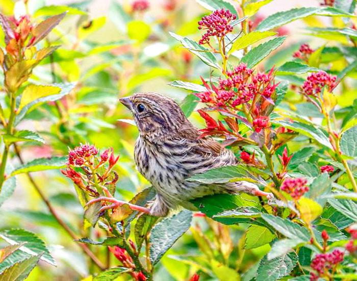 Sparrow Perching On Spirea 6-29