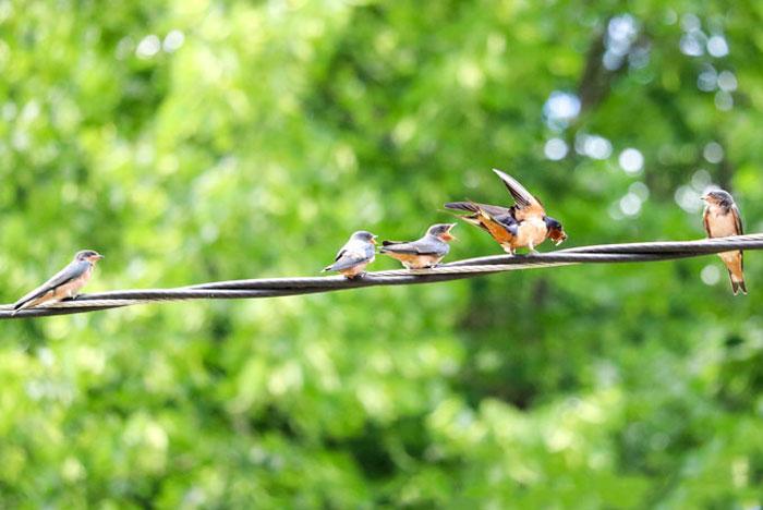Barn Swallow Family 6-29