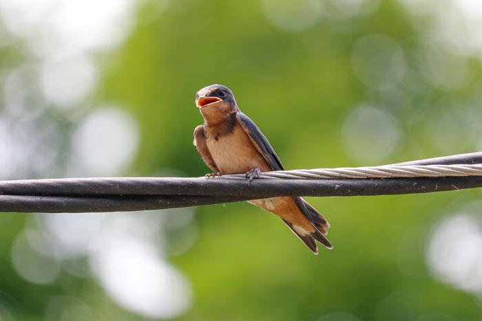 Swallow Fledgling 6-29