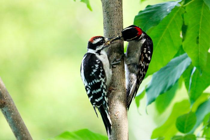 Downy Woodpeckers 6-29