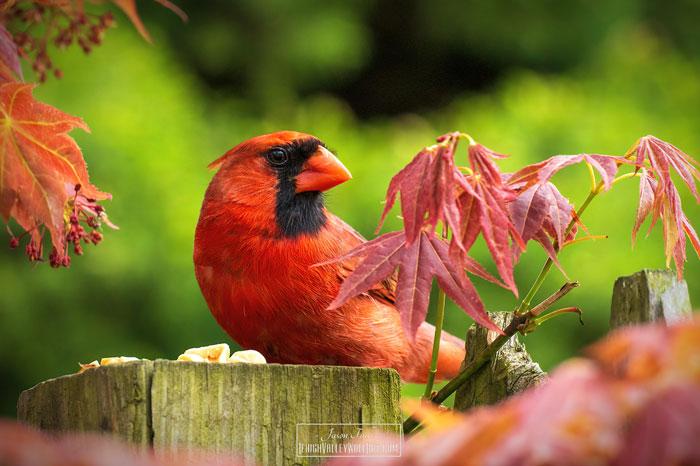 Male Cardinal 7-18