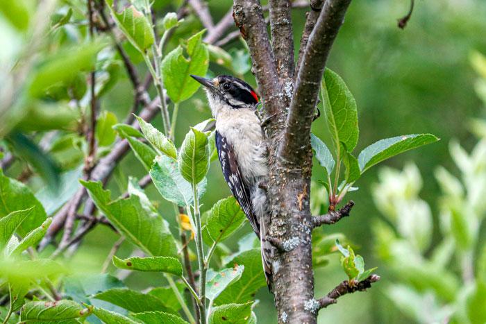 Downy Woodpecker In An Apple Tree 7-29