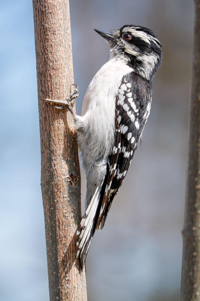 Downy Woodpecker Size7-29