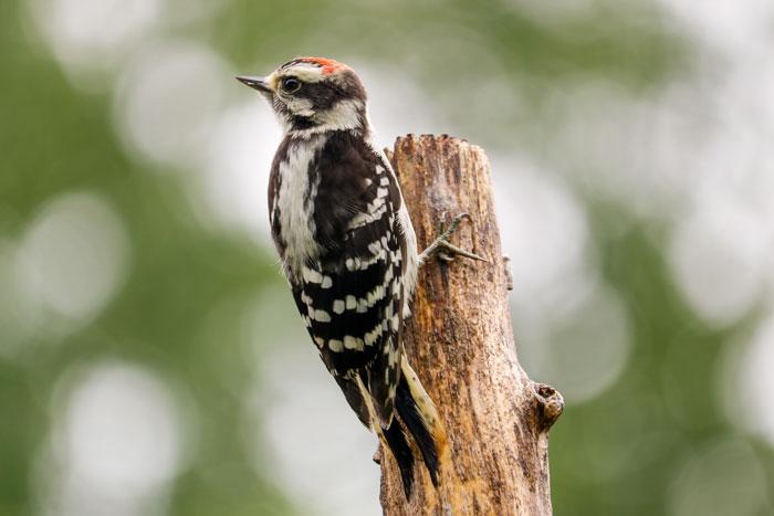 Juvenile Woodpecker 7-29
