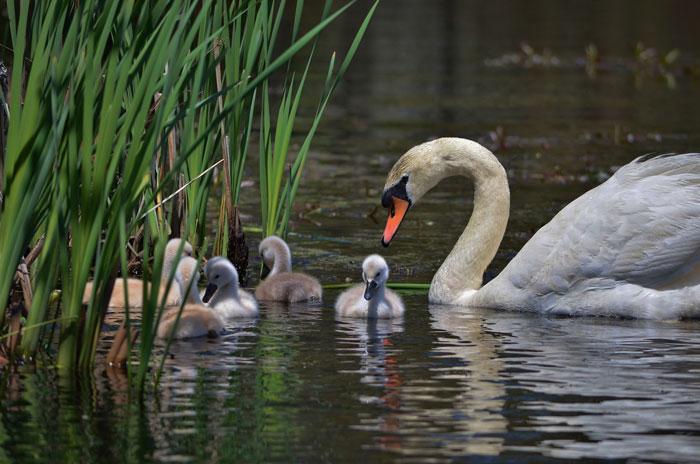 Swans 7-24