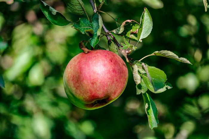 Apple Picking 8-26