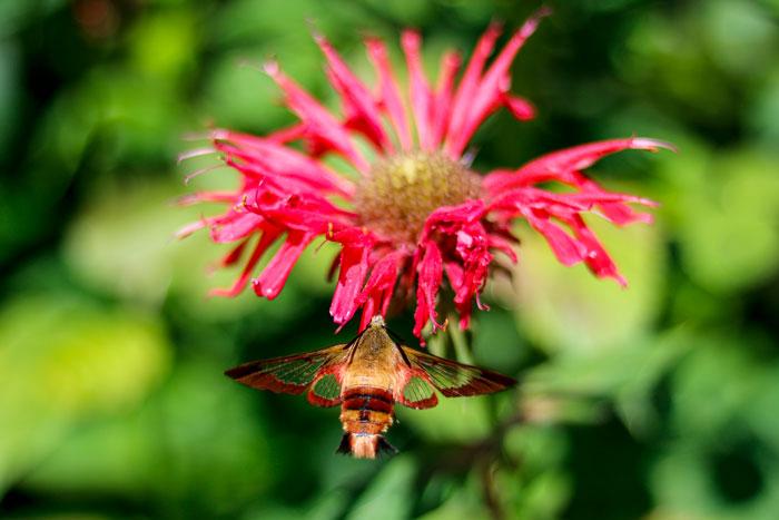 Hummingbird Moth Feeding From A Bee Balm 8-24