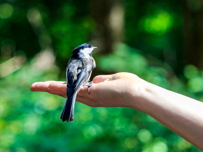 Chickadee Hand 8-24