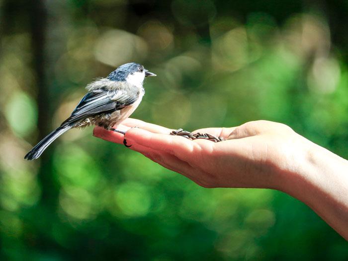 Chickadee Seed-8-24