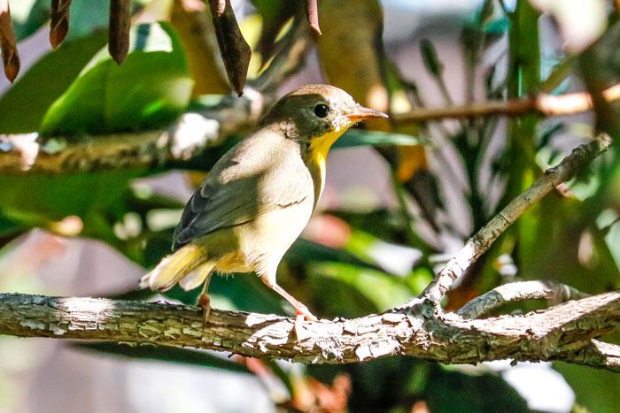 Juvenile Common Yellowthroat Warbler 8-24