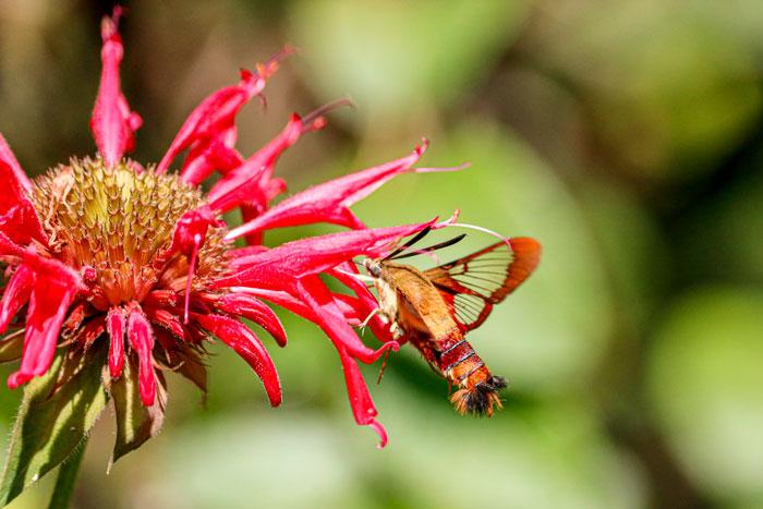 Flying Hummingbird Moth 8-24