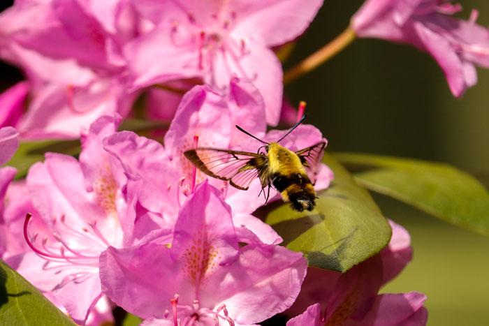 Hummingbird Moths 8-24