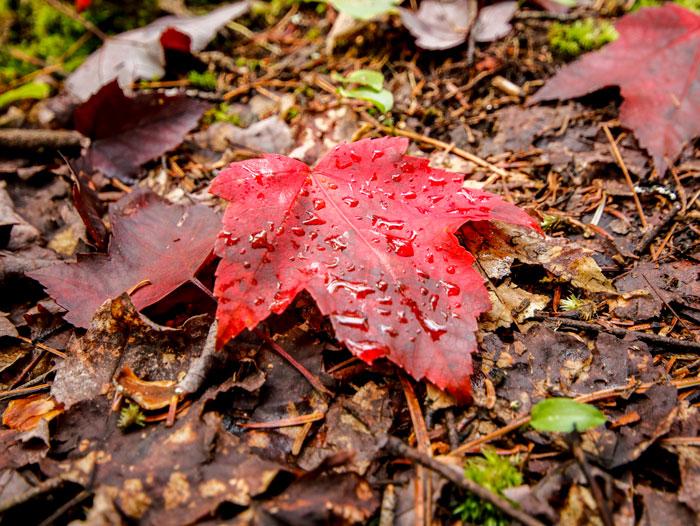Fallen Red maple Leaf 8-24
