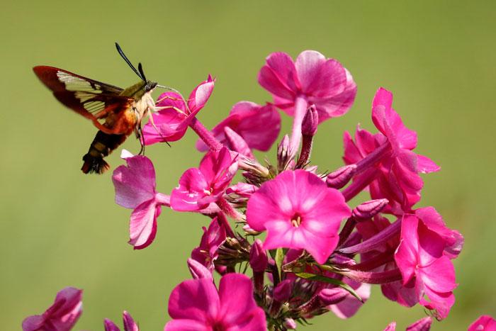Hummingbird Moth Feeding From Phlox 8-24