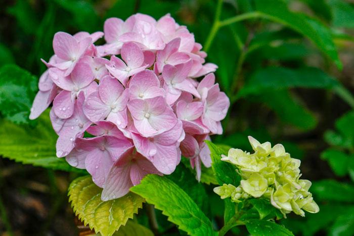 Pink Hydrangea 8-24