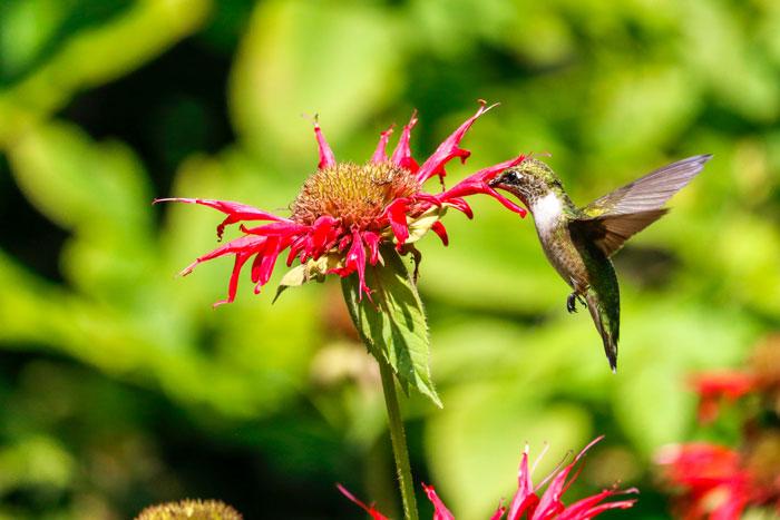 Ruby Throated Hummingbird 8-24