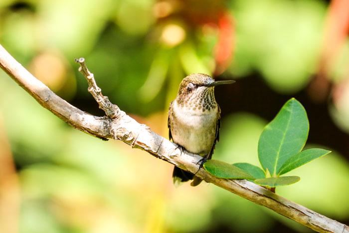 Snoozing Hummingbird 8-24