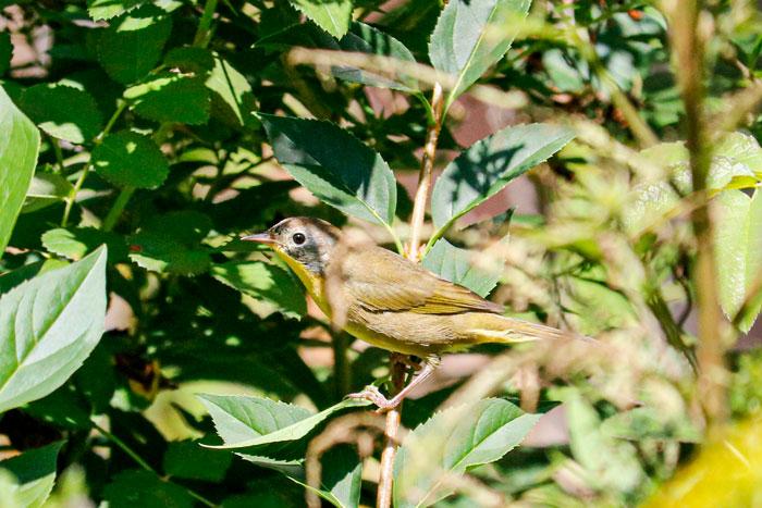 Common Yellowthroat During The Autumn 8-24