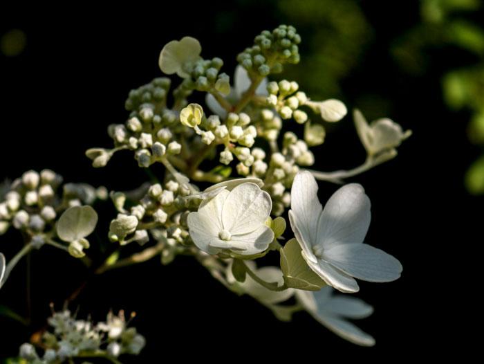 White Hydrangea 8-24