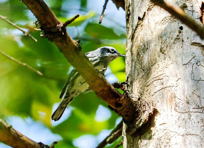Perching Warbler 9-21