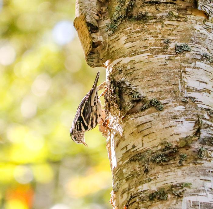 Warbler Climbing Down A Tree 9-19