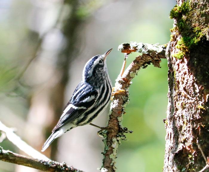 Warbler On Pine 9-19