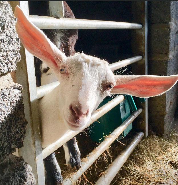 Goat 10-1