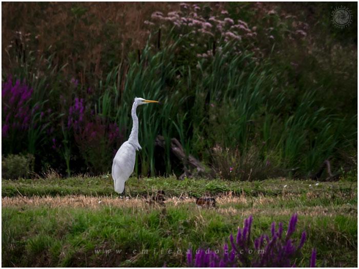 Great White Egret 10-4