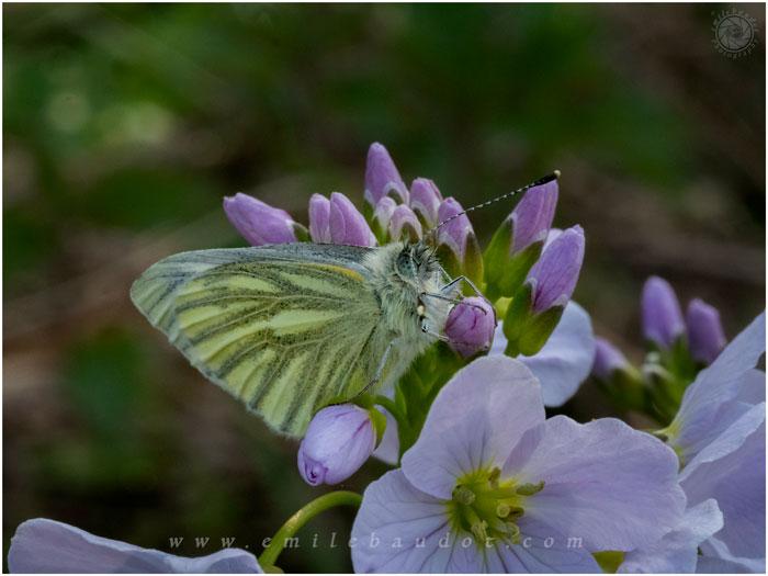 Green Veined White10-4
