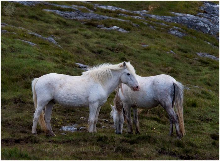 Western Isles Wild Ponies10-4